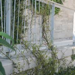 Trachelospermum jasminoides a Montjuïc, Barcelona