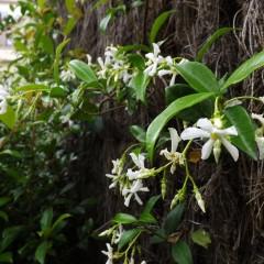 Trachelospermum jasminoides, primavera 2013