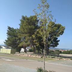 Platanus x acerifolia i Achillea millefolium