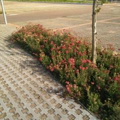 Paviment drenant i Achillea millefolium