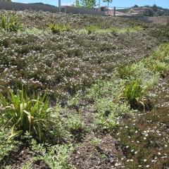 Cistus x florentinus un any després de plantar