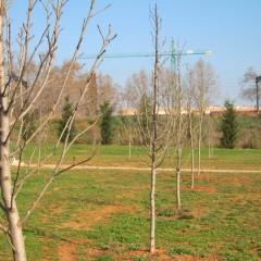 Sorbus domestica. Març 2014