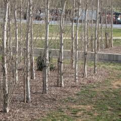 Populus nigra Italica. Març 2014